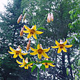 Canada_lillies