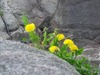 Dandelions_on_rocks